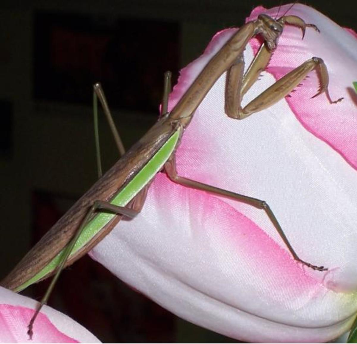 A Female Praying Mantis
