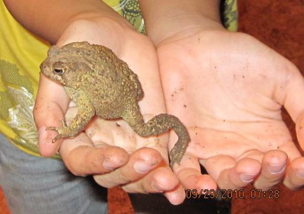 A Fat Toad