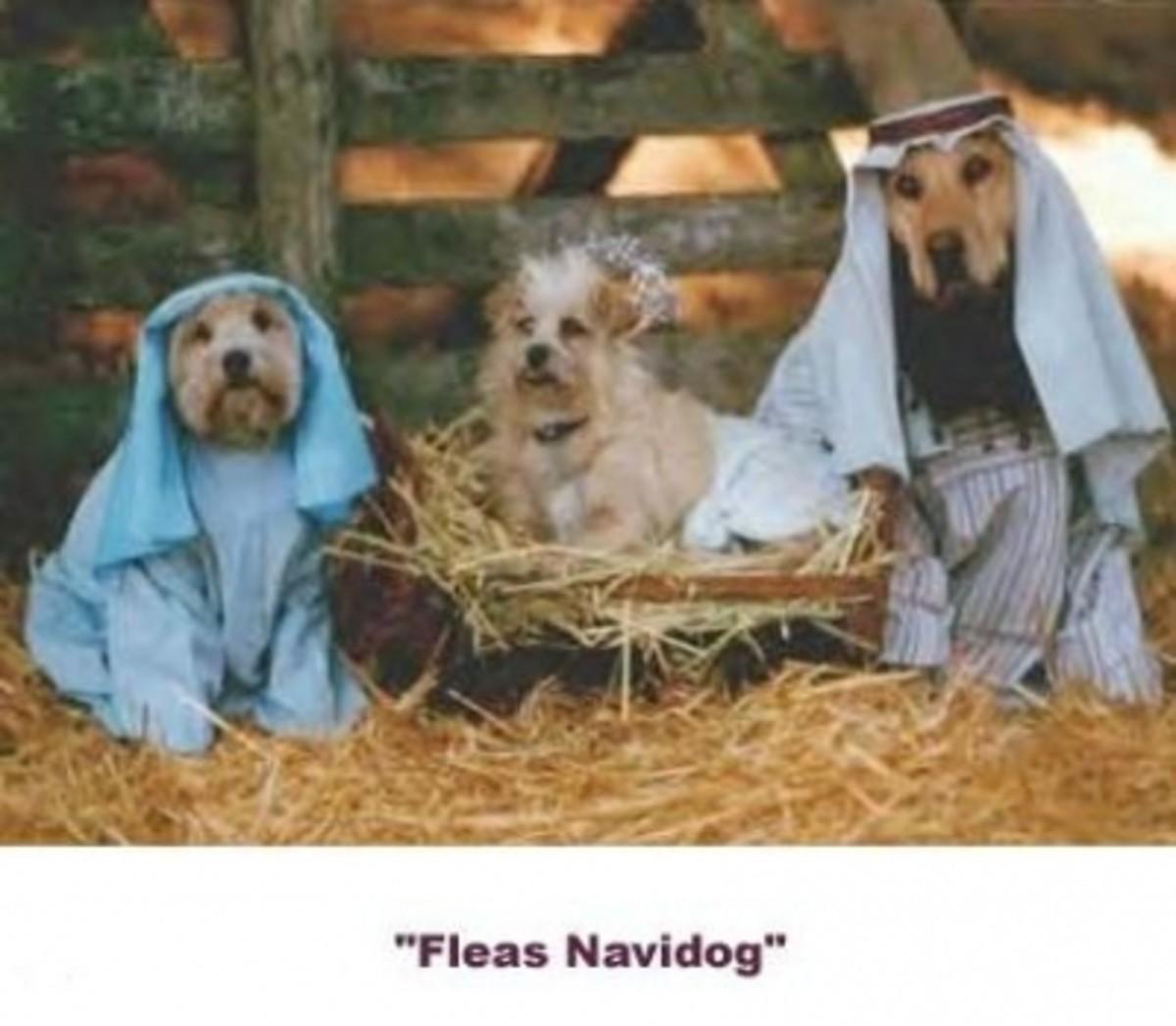 30 - Fleas Navidog