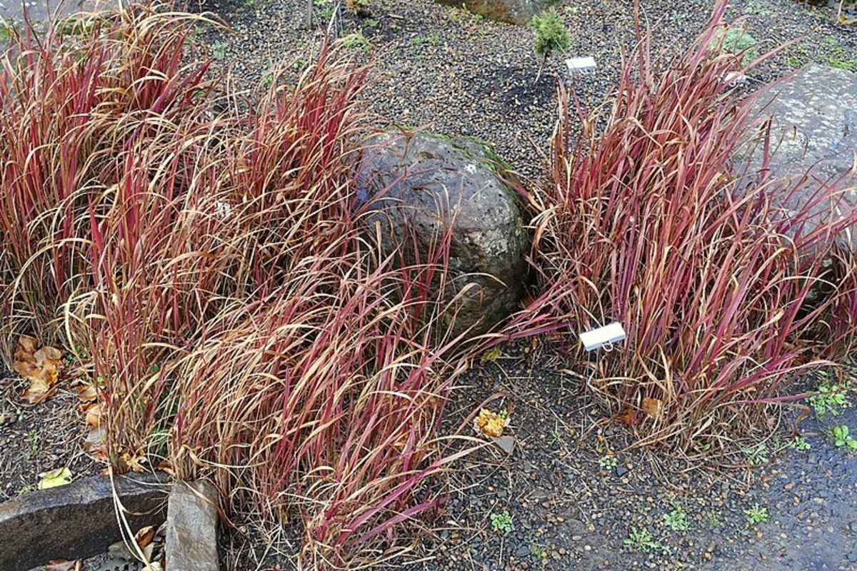Japanese blood grass is semi-evergreen during the winter, adding winter interest to your garden.