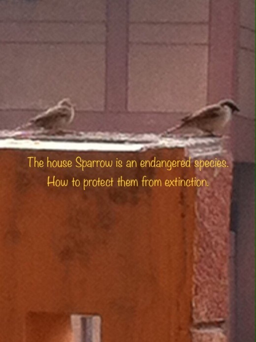 House Sparrows in my balcony is lovely sight.