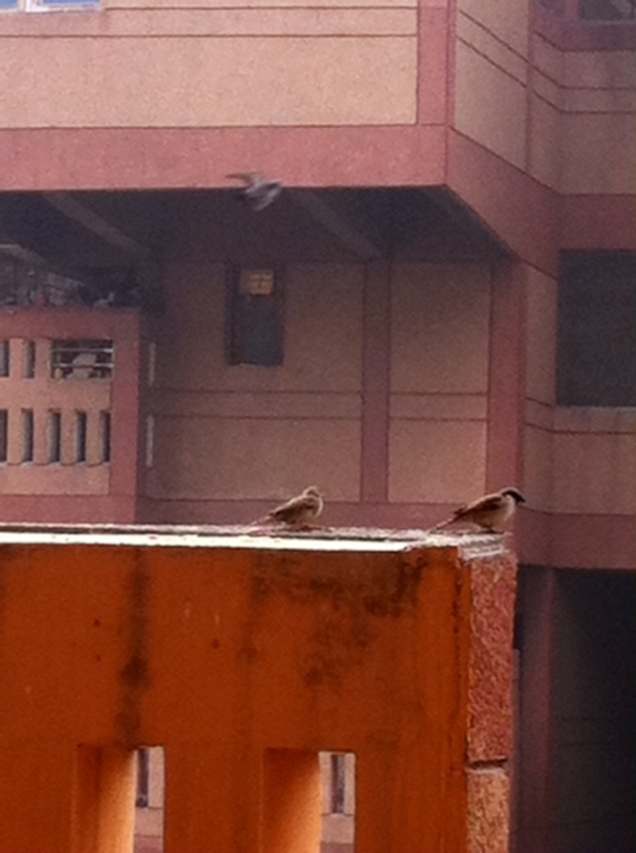 Sparrows on my terrace!