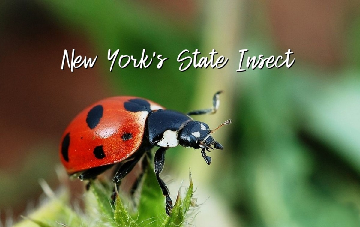 The State Insect of New York: the Nine-Spotted Lady Bird Beetle