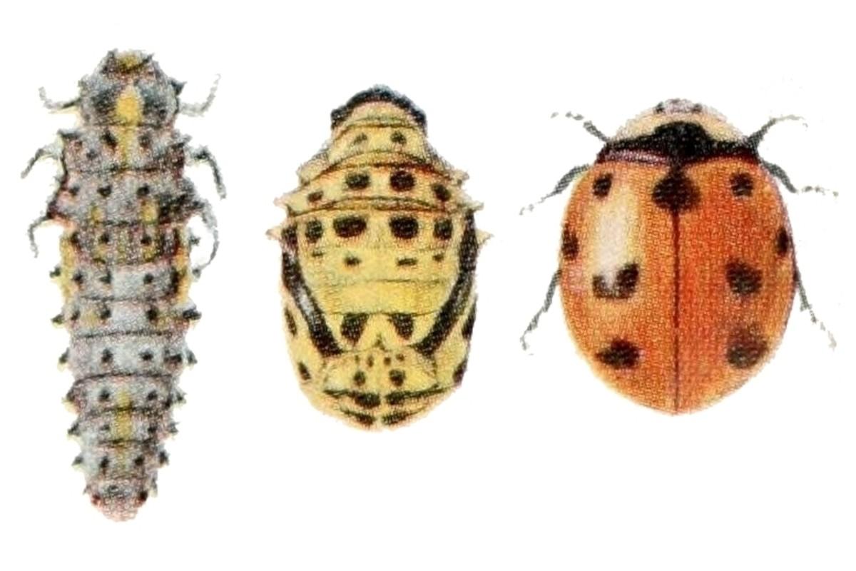 The larva, pupa, and adult of the none-spotted lady bird beetle