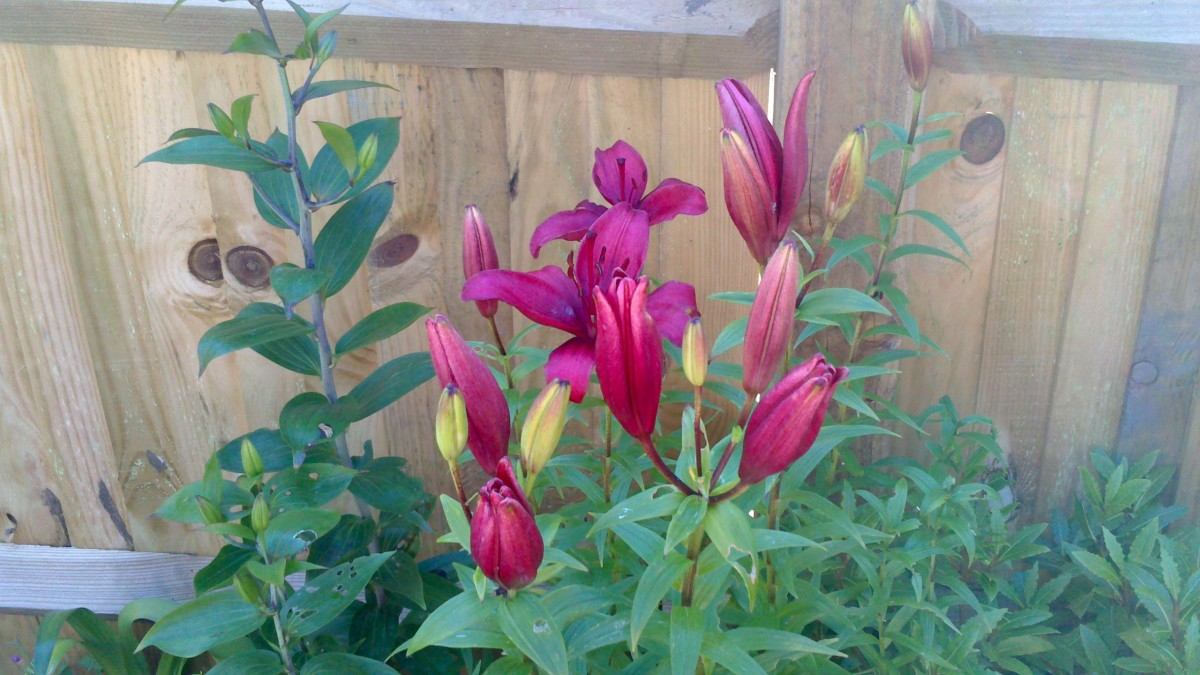 My very own oriental lilies