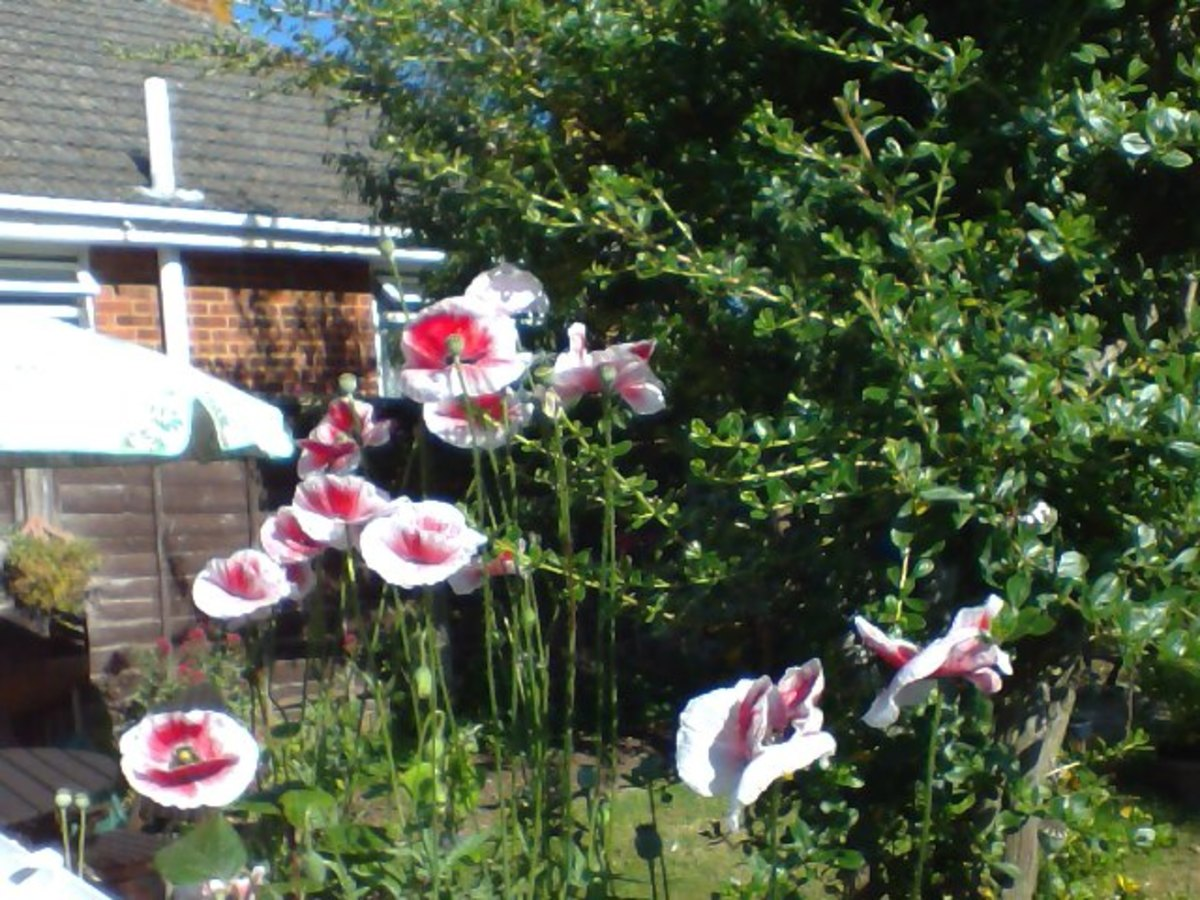 The pink poppies