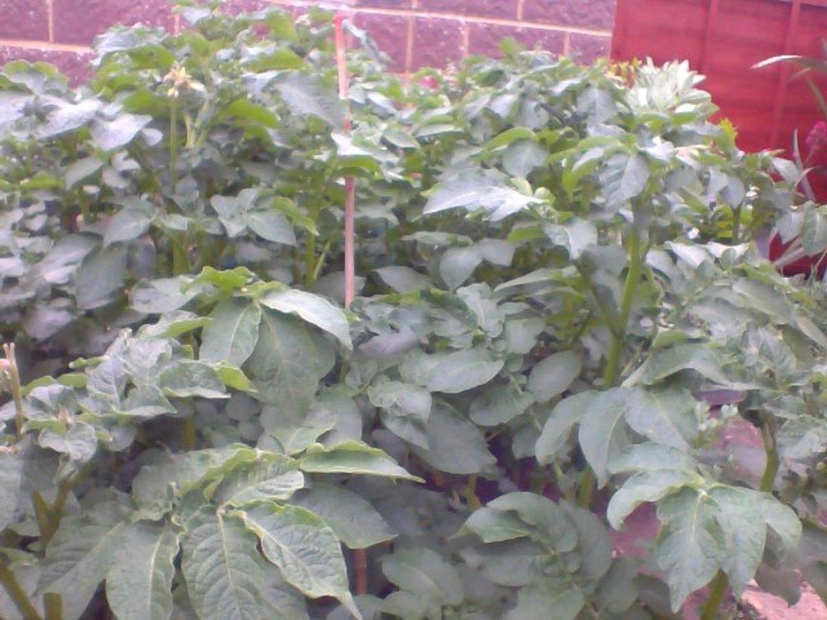 My own organic potatoes