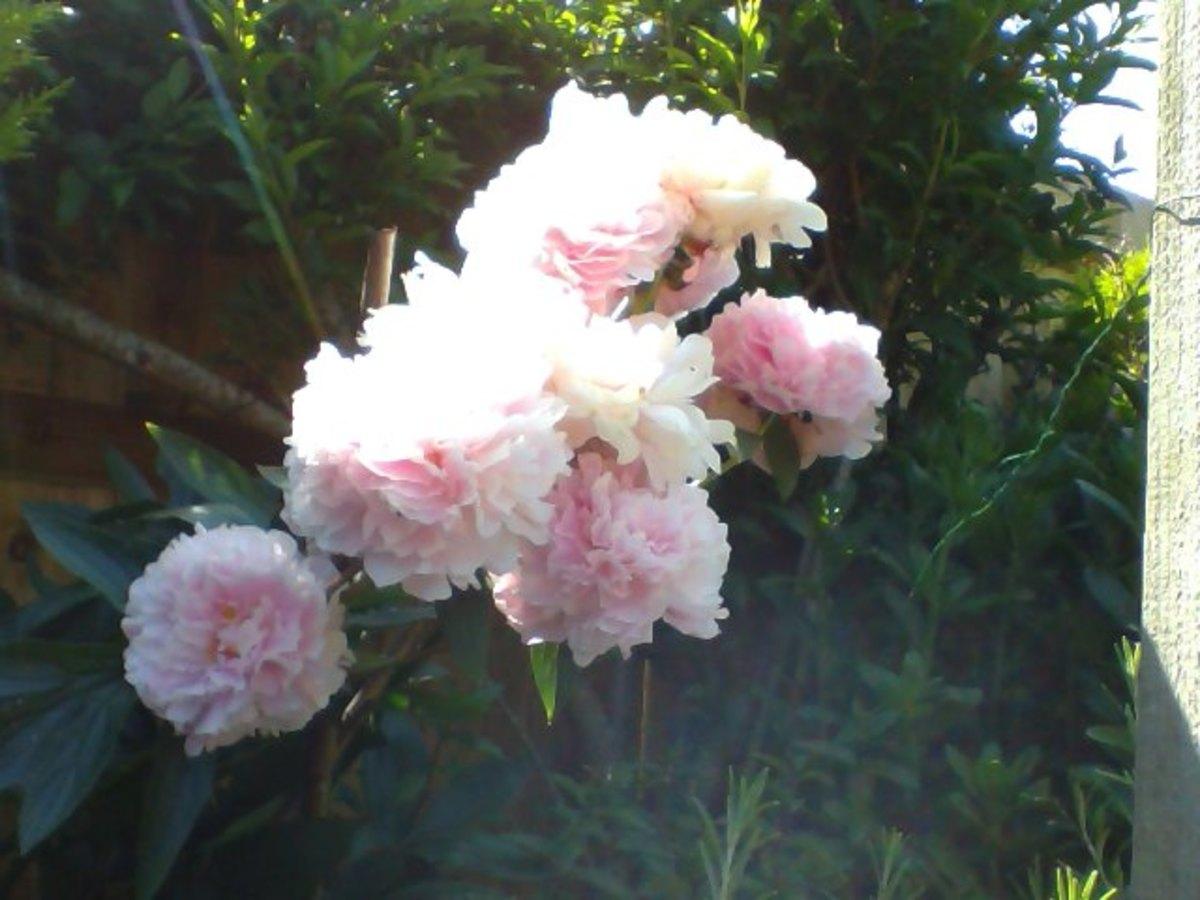 My pink peonies