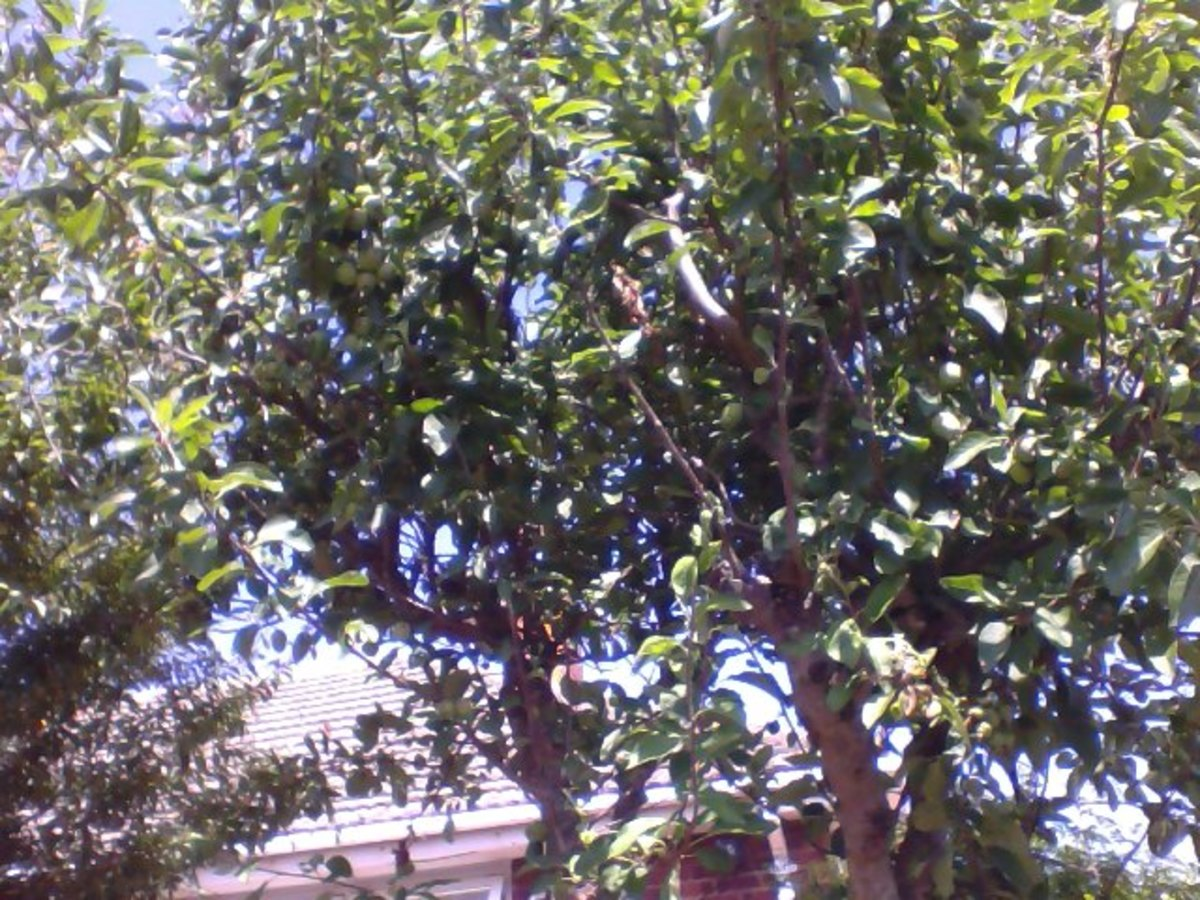 My apple tree with fruits