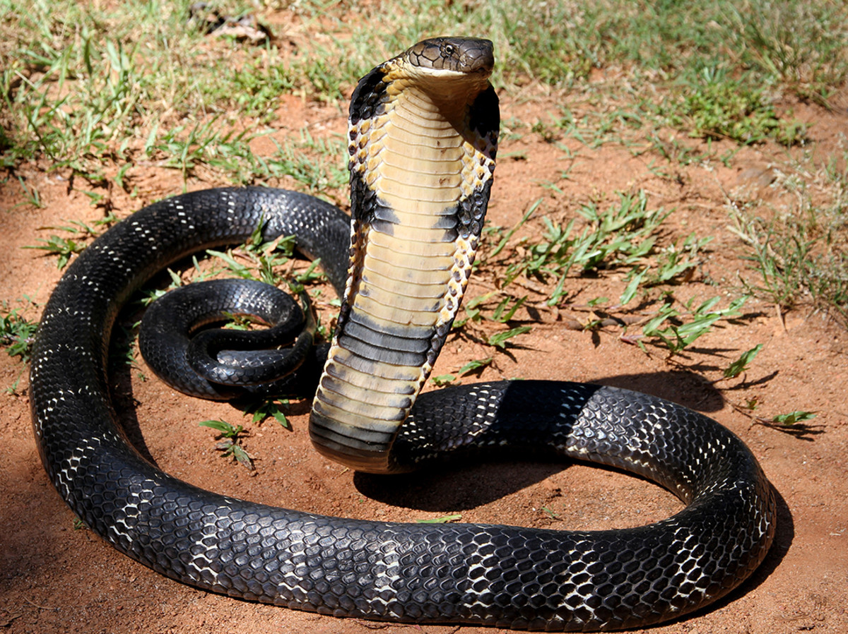 King Of Snakes - The King Cobra
