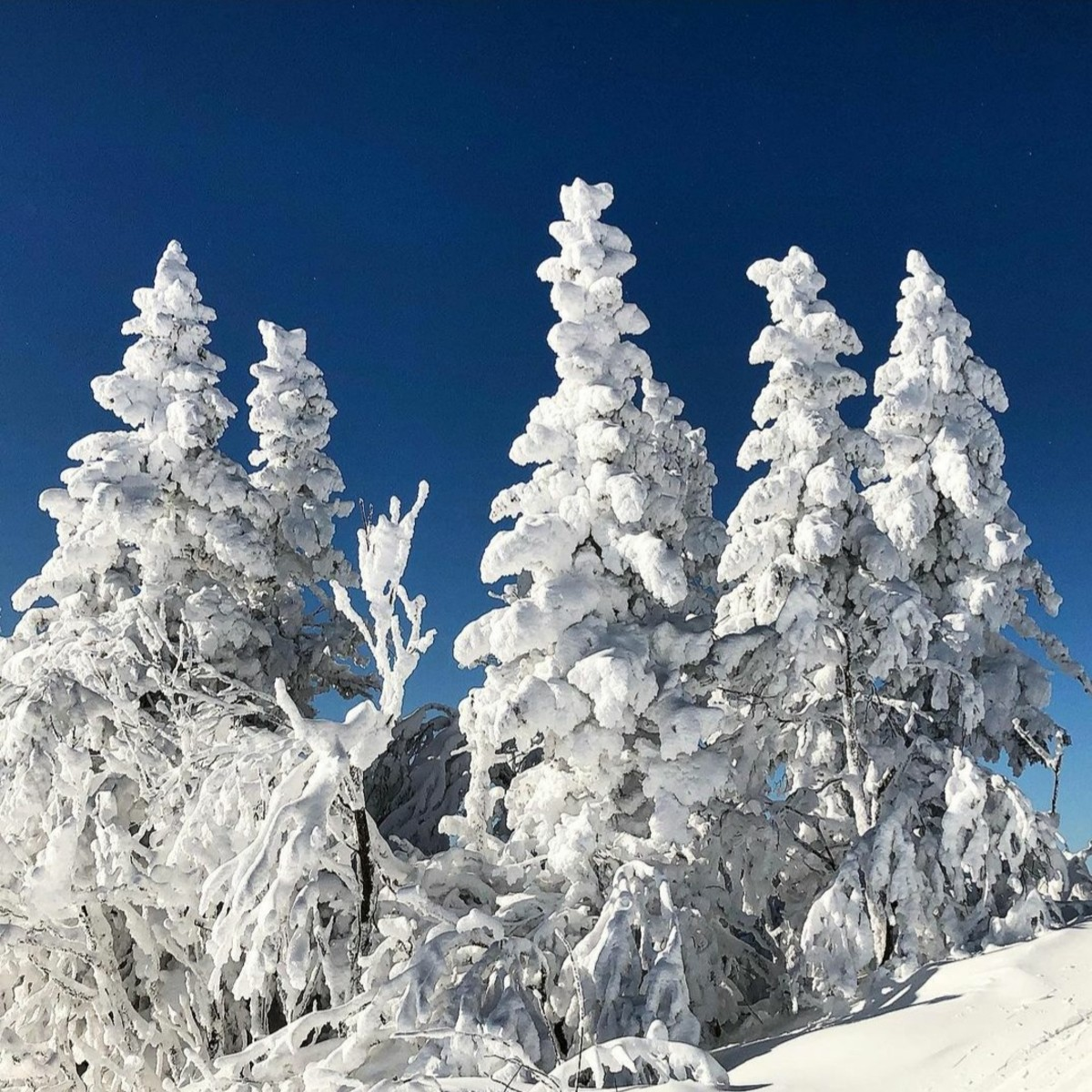 Silver fir covered with snow