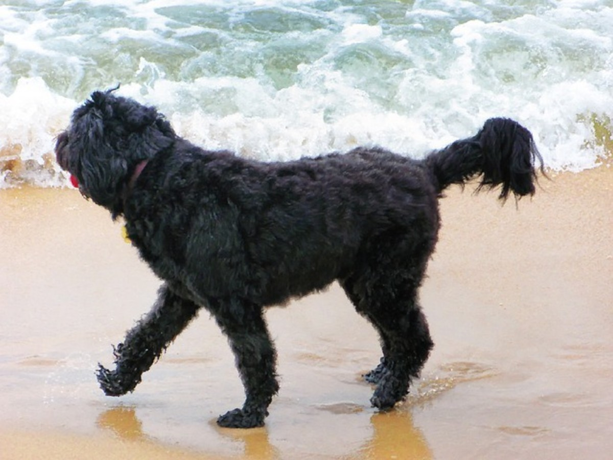 Portuguese water dogs have webbed feet
