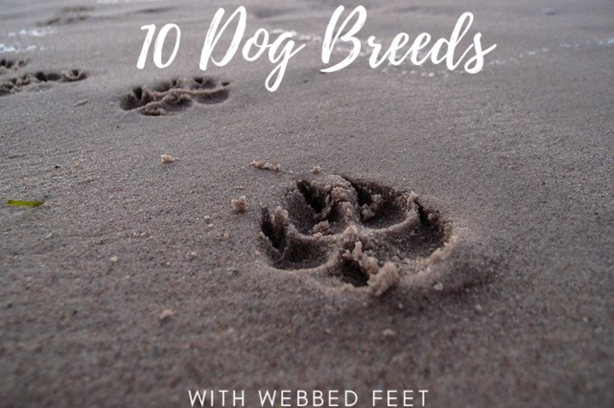 10 Dog Breeds With Webbed Feet (and Why)