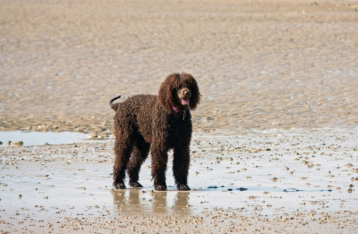 Irish water spaniels have webbed feet.