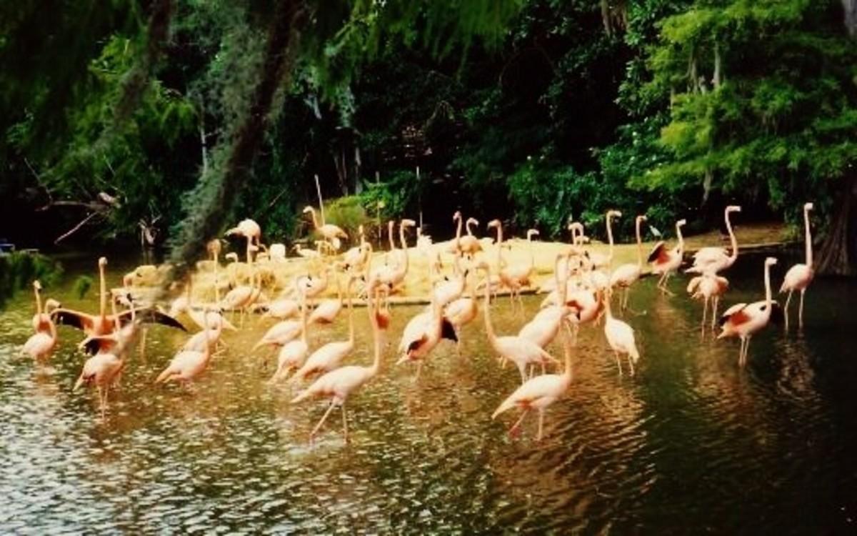 Many flamingo birds seen on Discovery Island