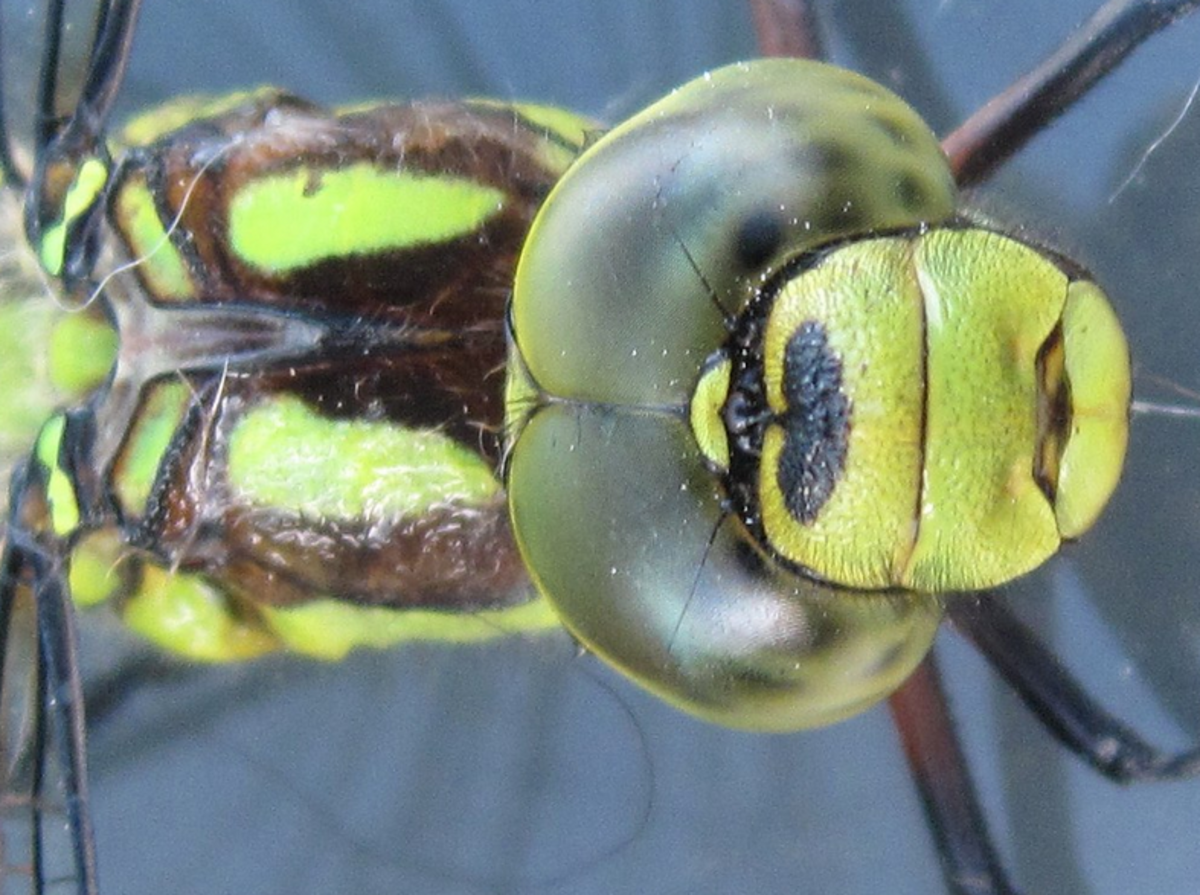 Dragonflies like the green darner use their excellent eyesight to chase down prey in mid-air