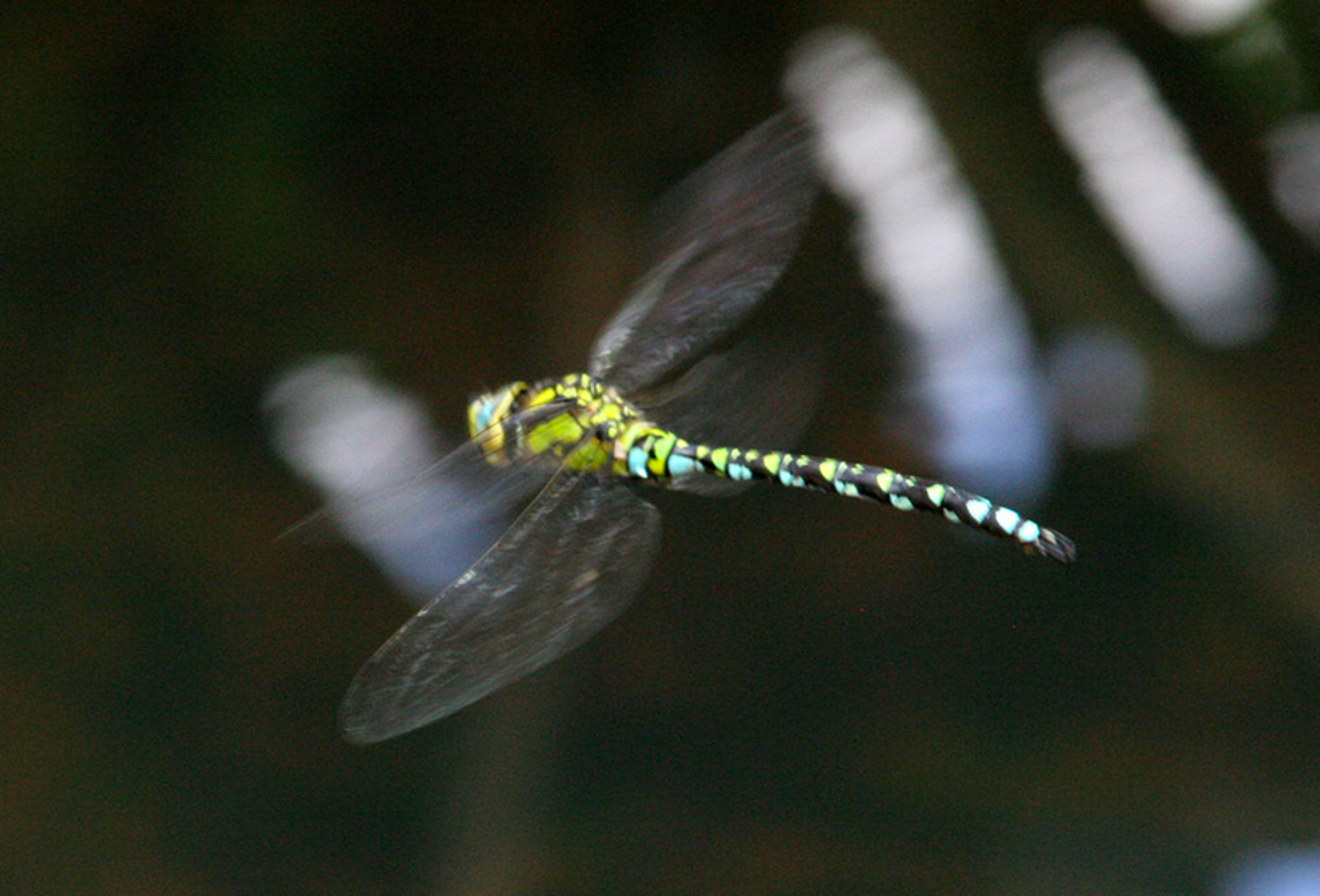 A southern hawker, a relative of the green darner, in flight.