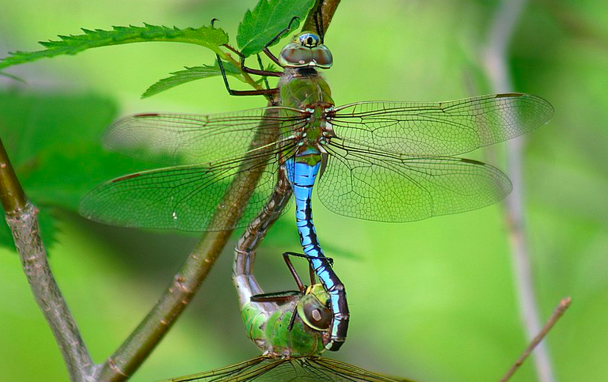 Green darner dragonflies, Washington's State Insect