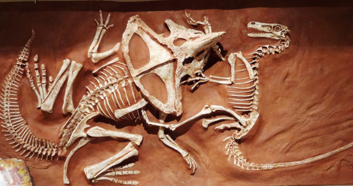Velociraptor and Protoceratops locked in a fossilized battle.
