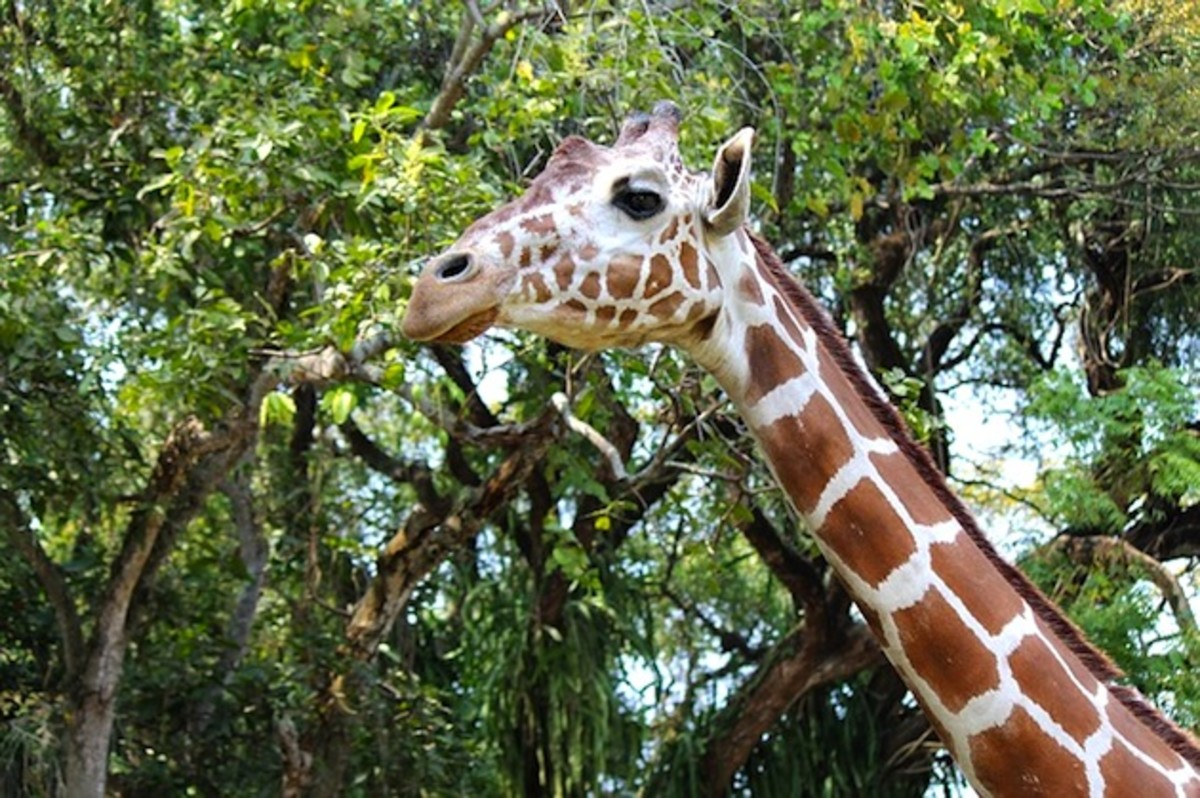 Somali or Reticulated Giraffe