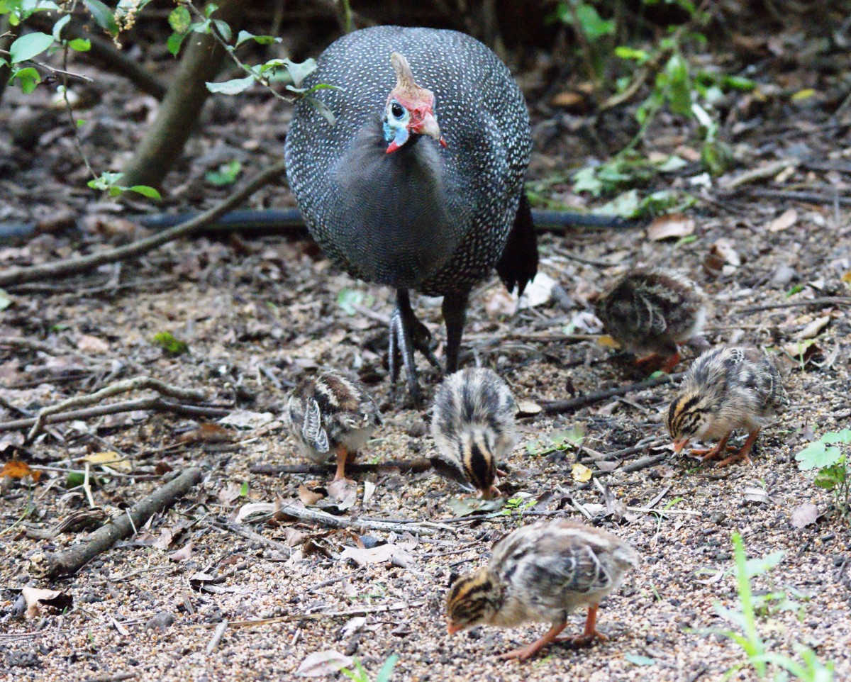 Guinea fowl with chicks