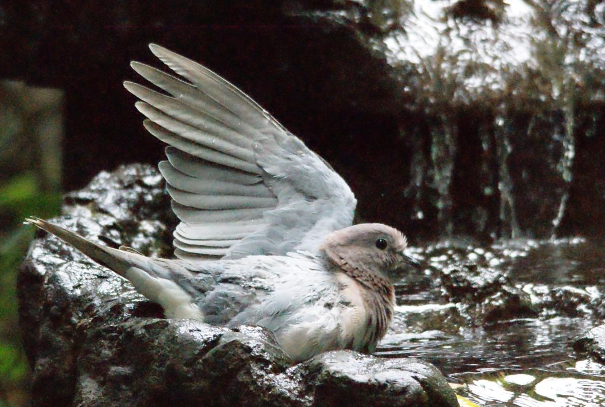 A Dove taking a bath