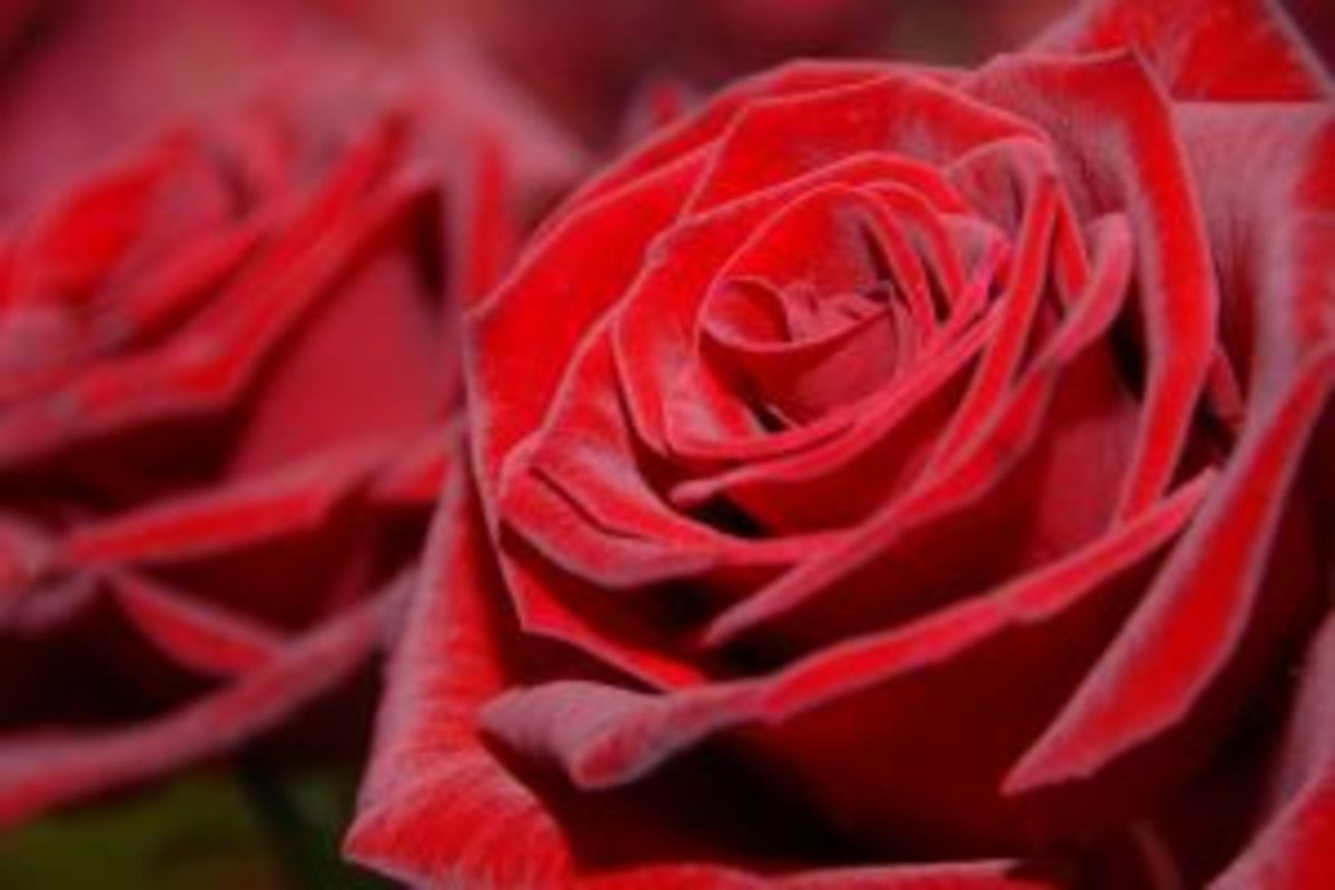 Red roses meaning is love and romance