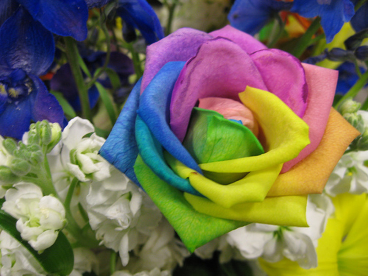 Rainbow roses meaning is happy roses