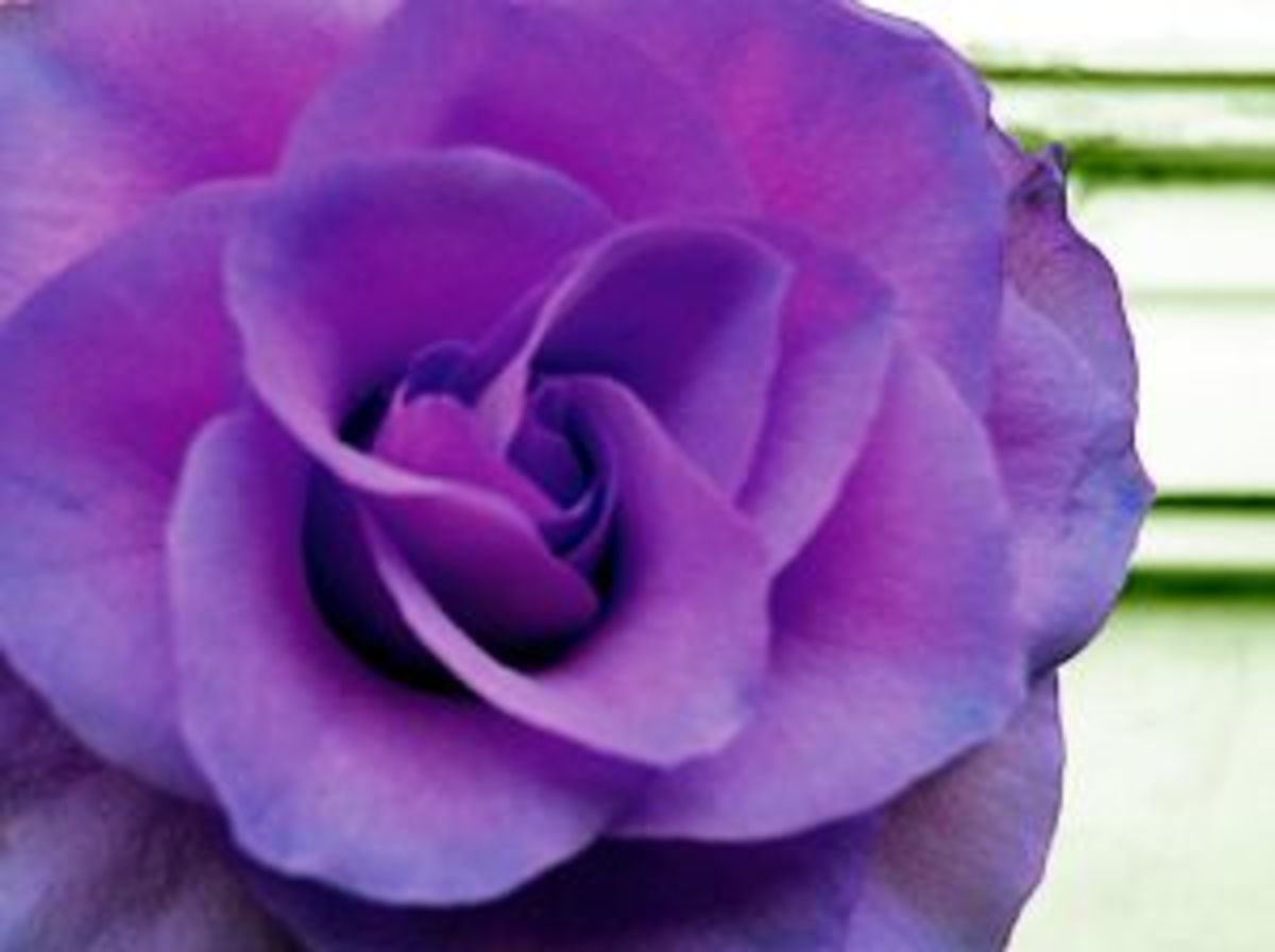 Lavender Rose meaning is enchantment love