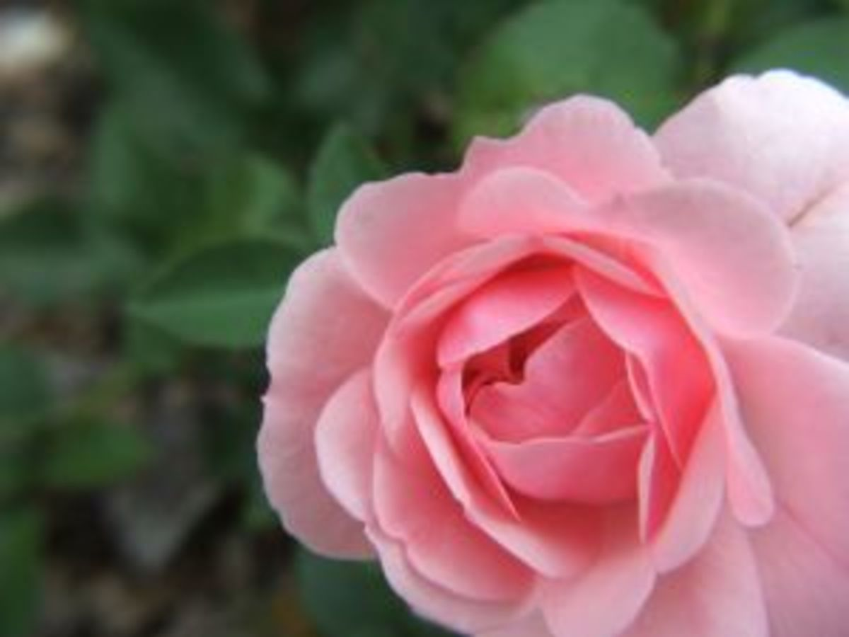 Pink Rose meaning is thankfulness gratitude