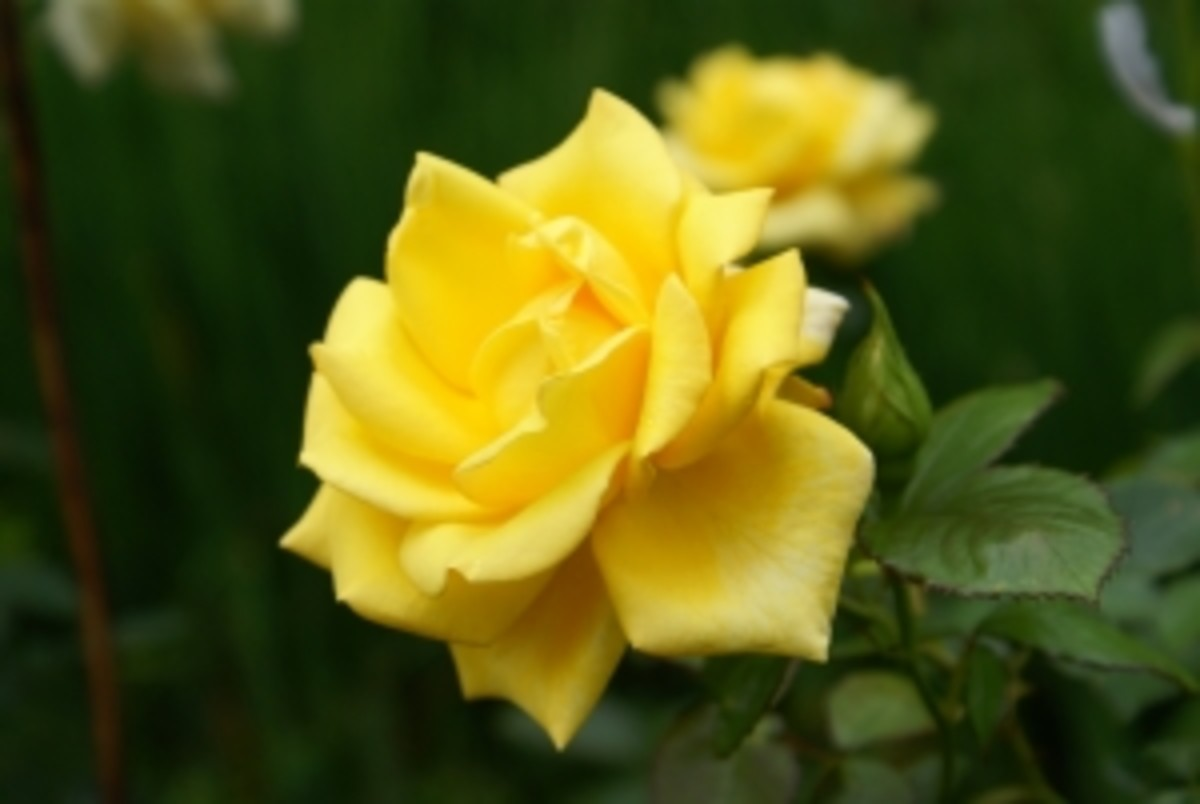 Yellow roses gift meaning - friendship happiness