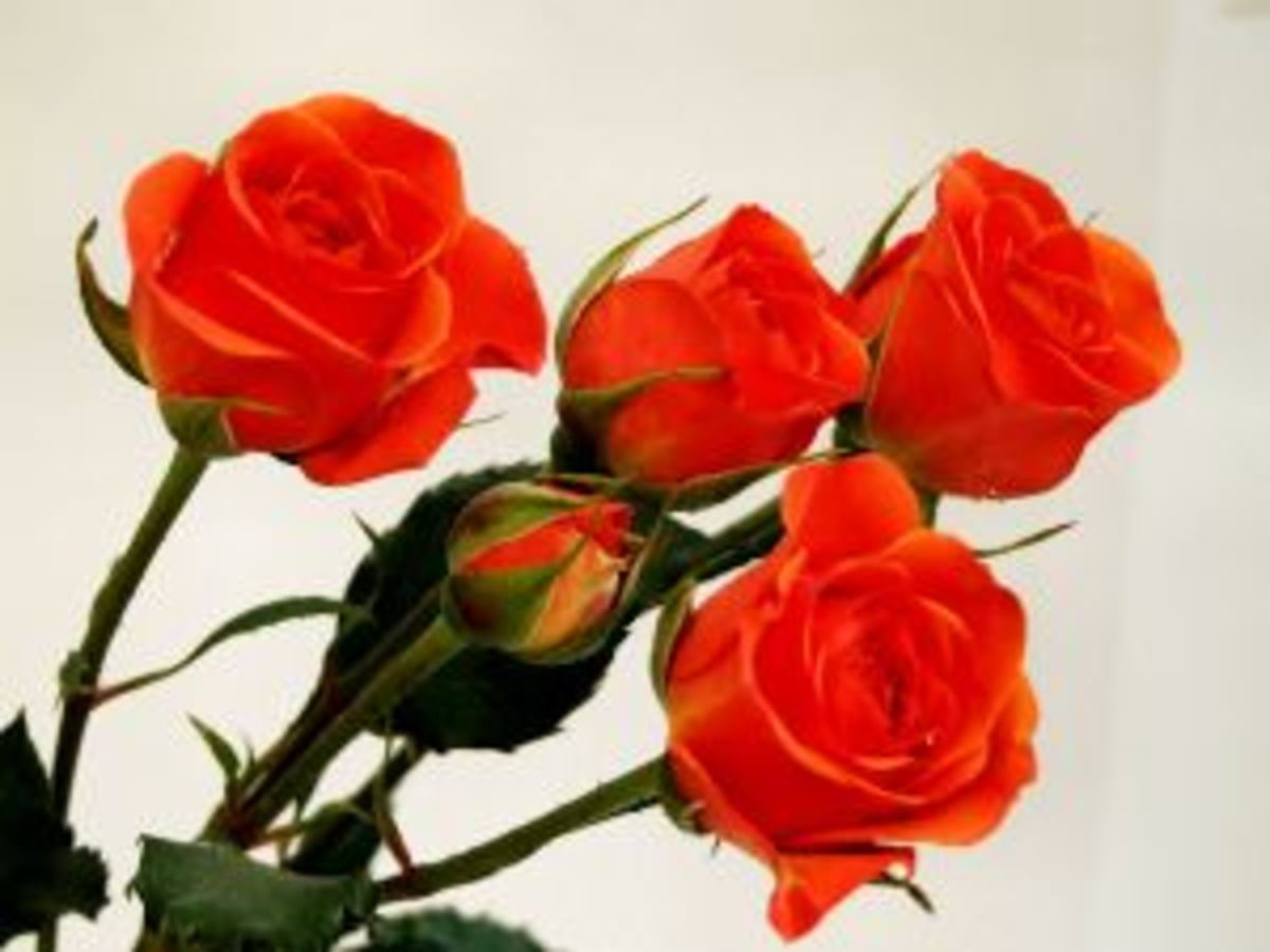 Meaning of roses colors and number as romantic gift for for The meaning of orange roses