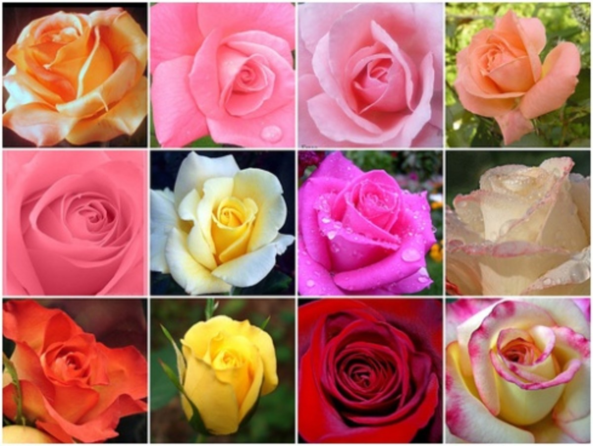 Secret Meaning of Roses as Romantic Gift