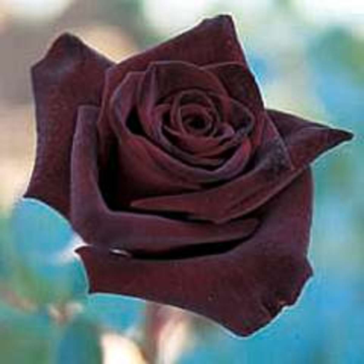 Black Rose meaning is radical love