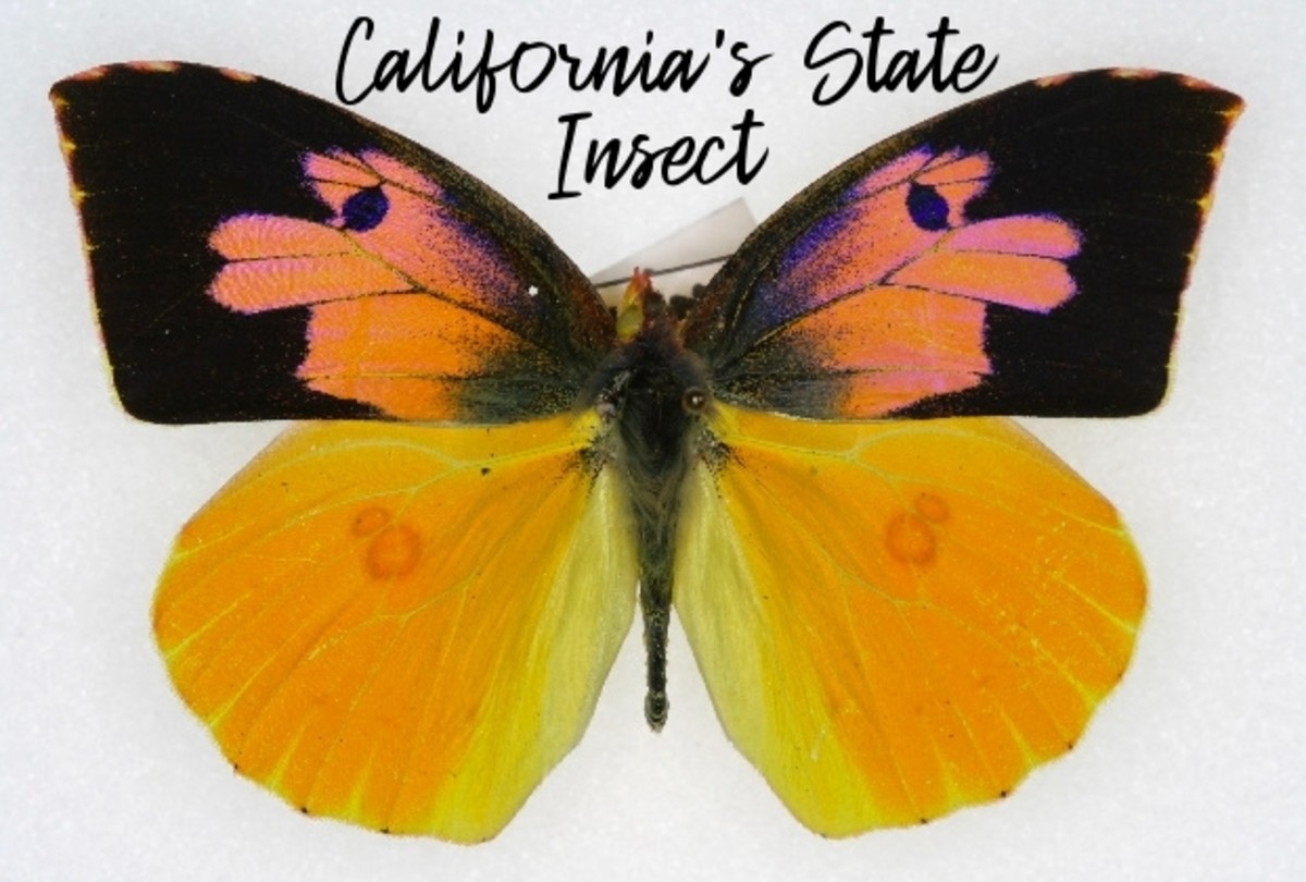state-insect-of-california