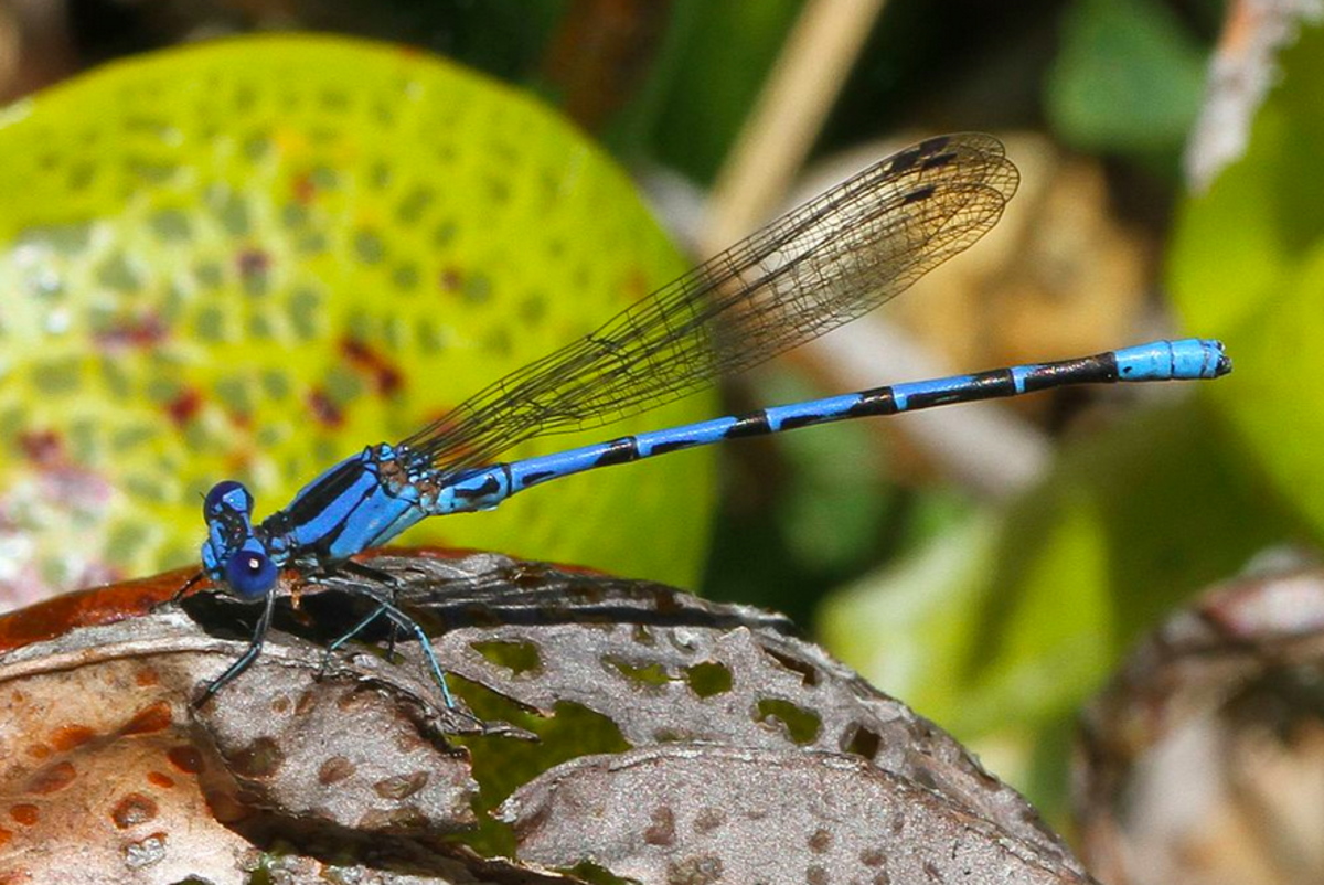 The state insect of Nevada, the vivid dancer damselfly