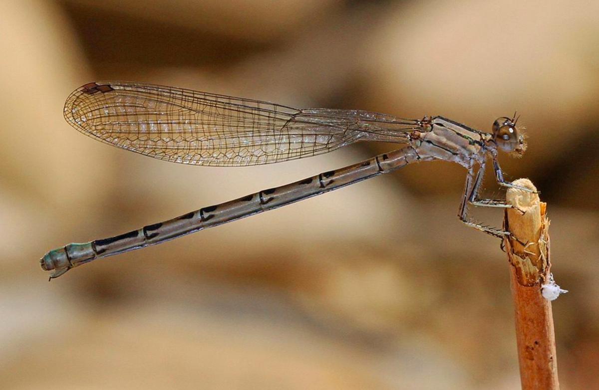 The vivid dancer, like all damselflies, holds its wings over its body like a butterfly