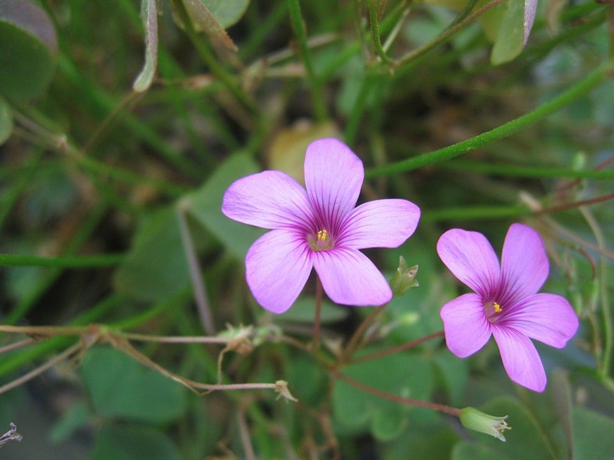 Oxalis articulata flowers.