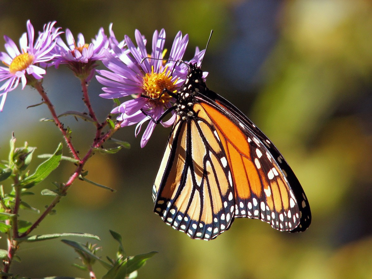A monarch butterfly nectaring