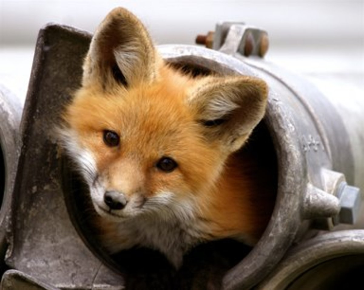 beautiful face of a furry fox poking its head out of a cylinder pipe