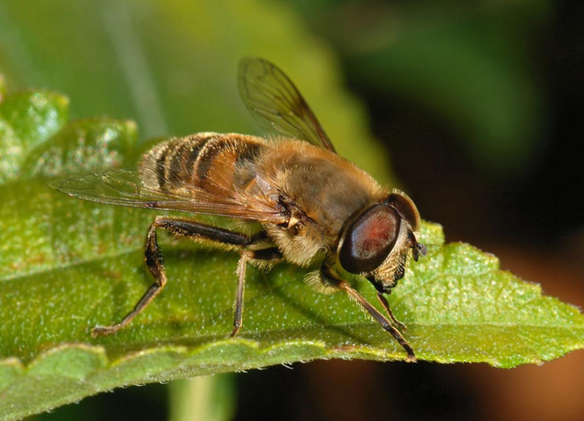 Eristalis tenax, a stingless drone fly that mimics the honeybee