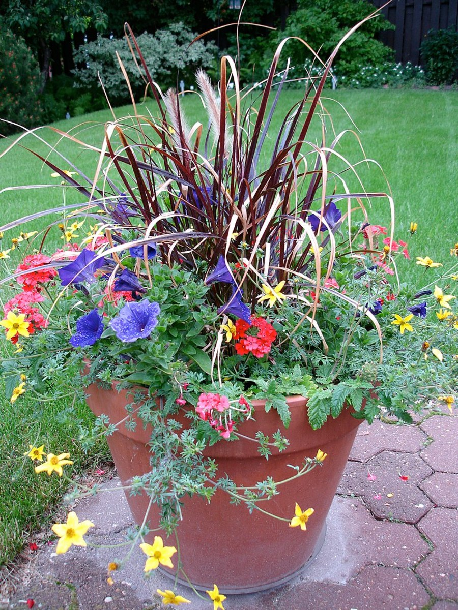 This grass can be grown in containers alone or as part of a mixed planting.