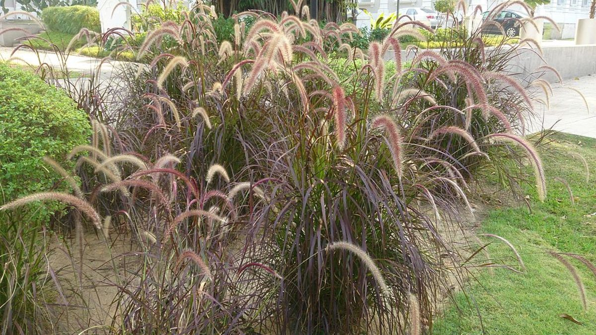 Purple fountain grass can be used in massed plantings.