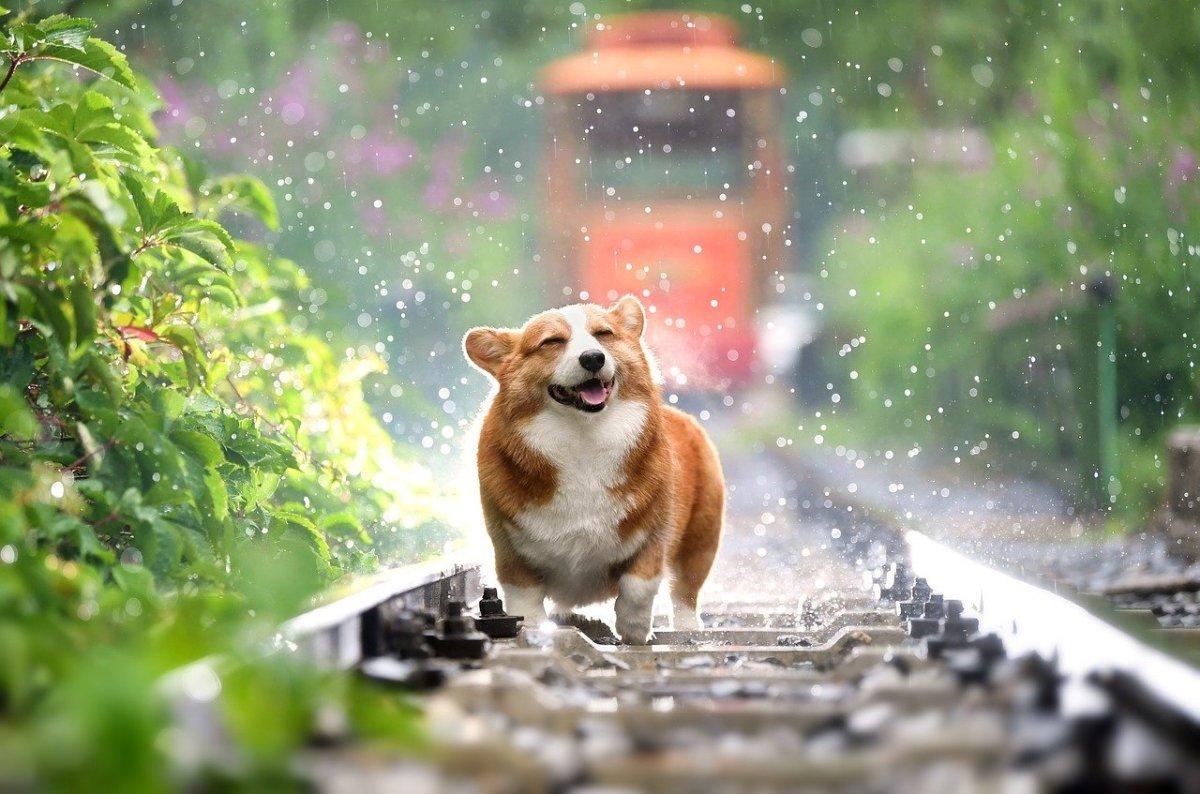 Even Corgis love rain