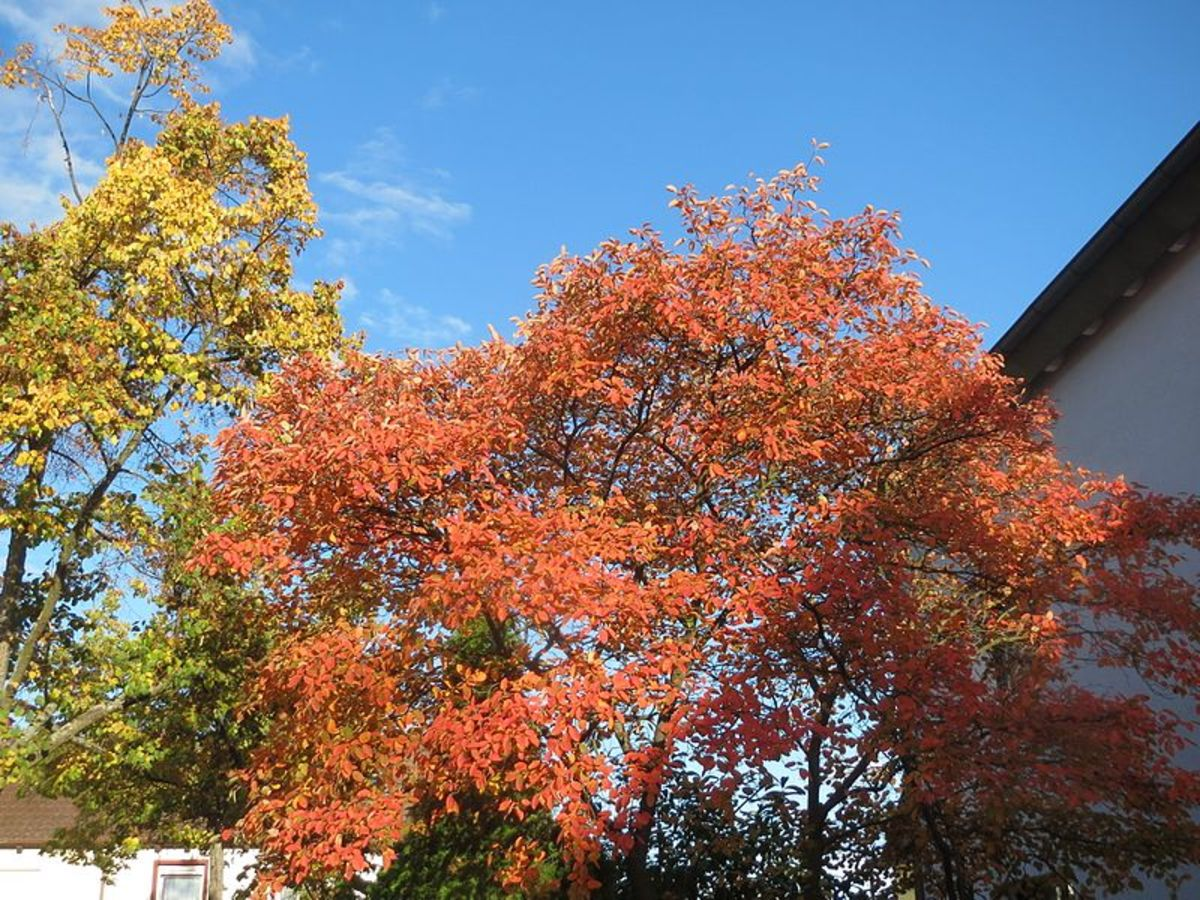 A. lamarckii showing its brilliant fall foliage.