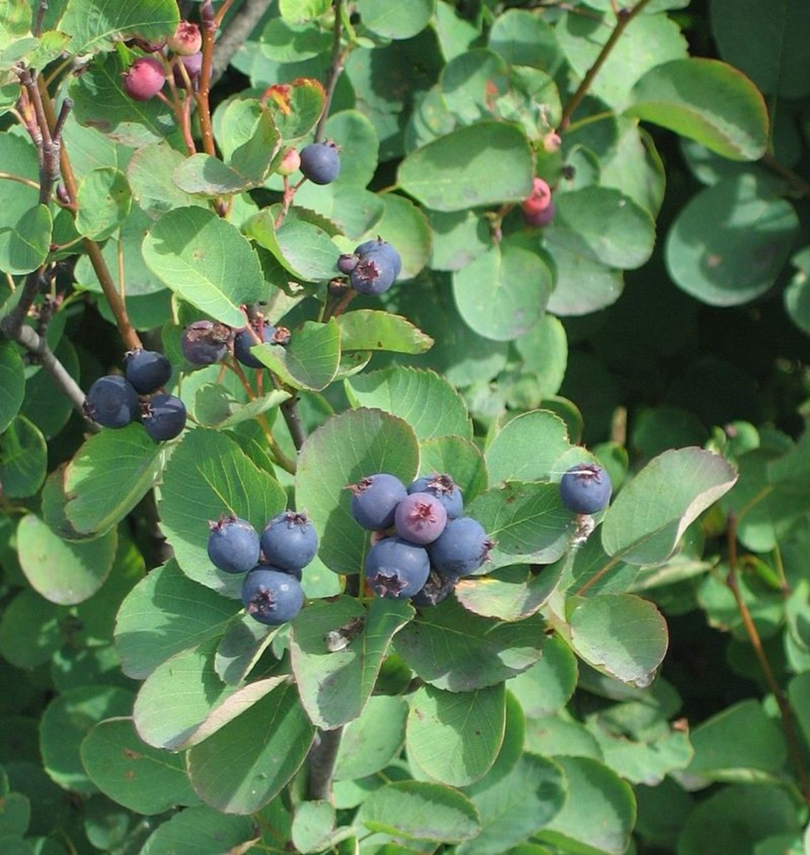 A. alnifolia berries.  They look and taste like blueberries.
