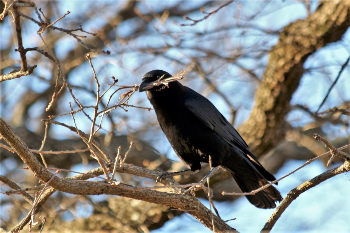 Crow With Nesting Material