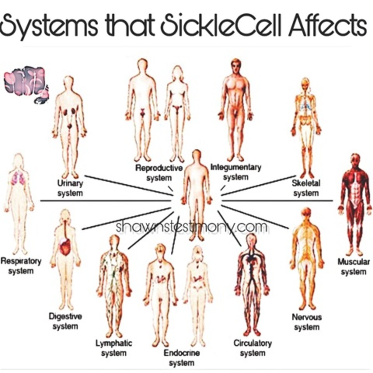 Biological systems in humans