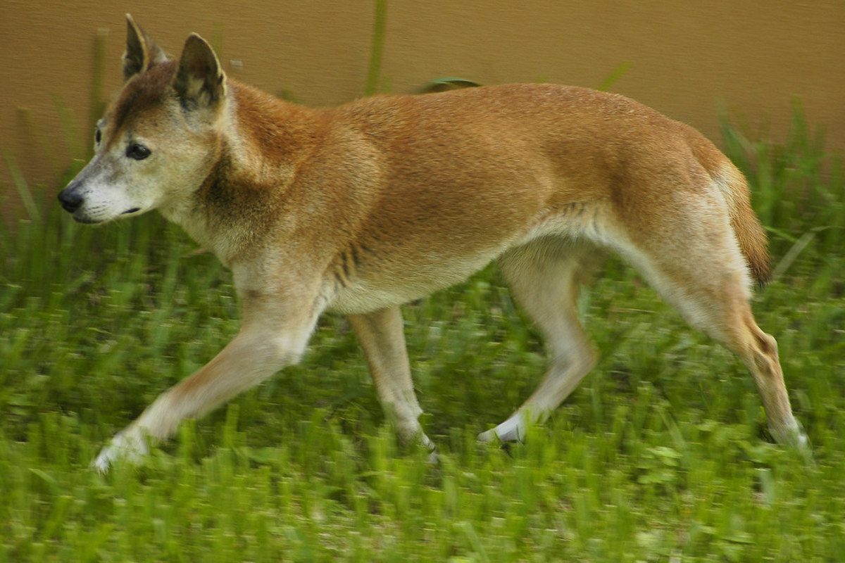 The New Guinea Singing Dog is a close relative of domesticated dogs, but genetically distinct enough that some consider it to be another species.