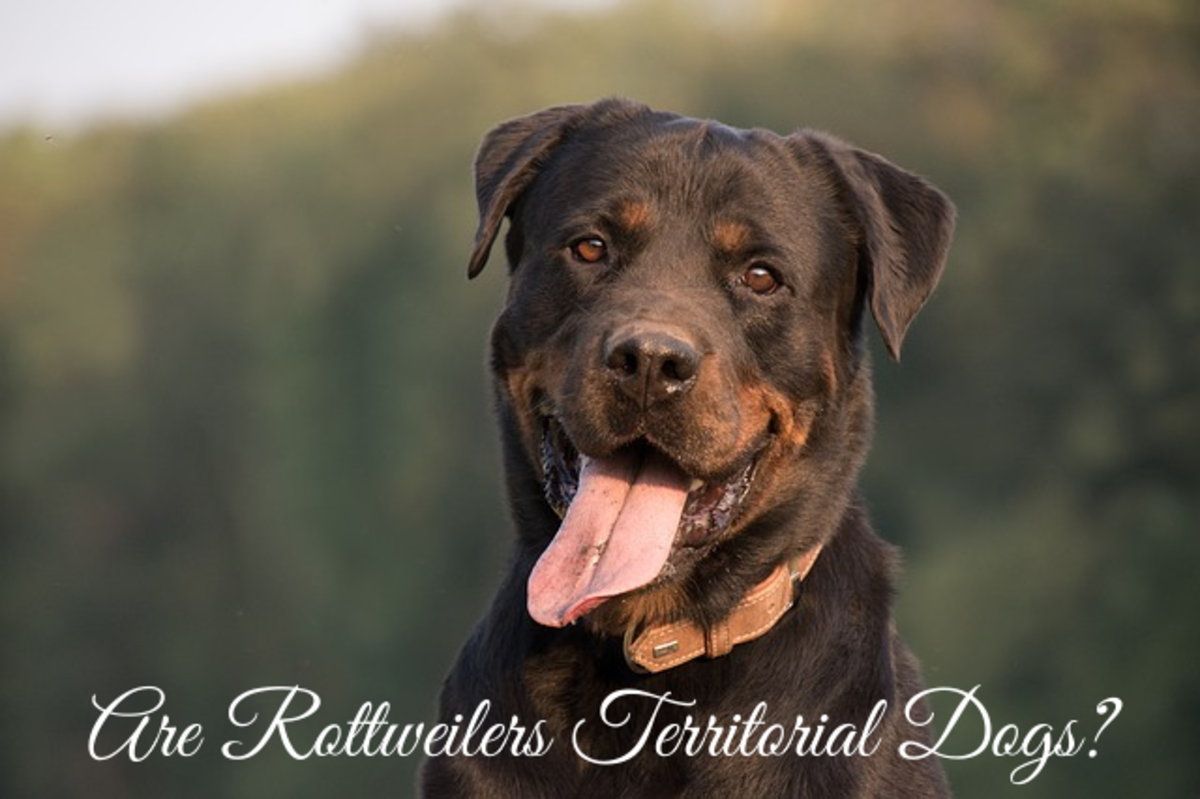 Are Rottweilers Territorial Dogs?